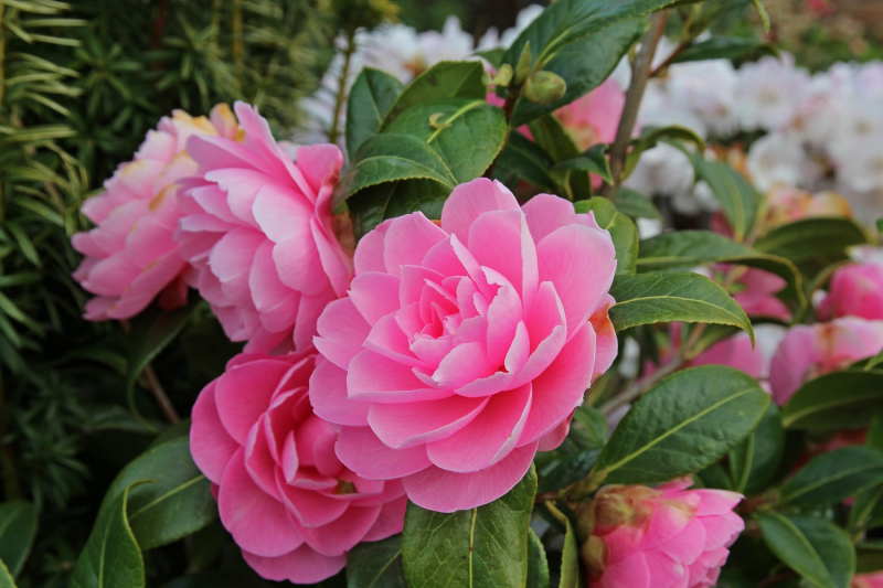 FEBRUARY – HTA PLANT OF THE MOMENT CAMELLIAS FOR EARLY COLOUR