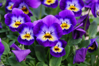 Plant of the Week: Viola