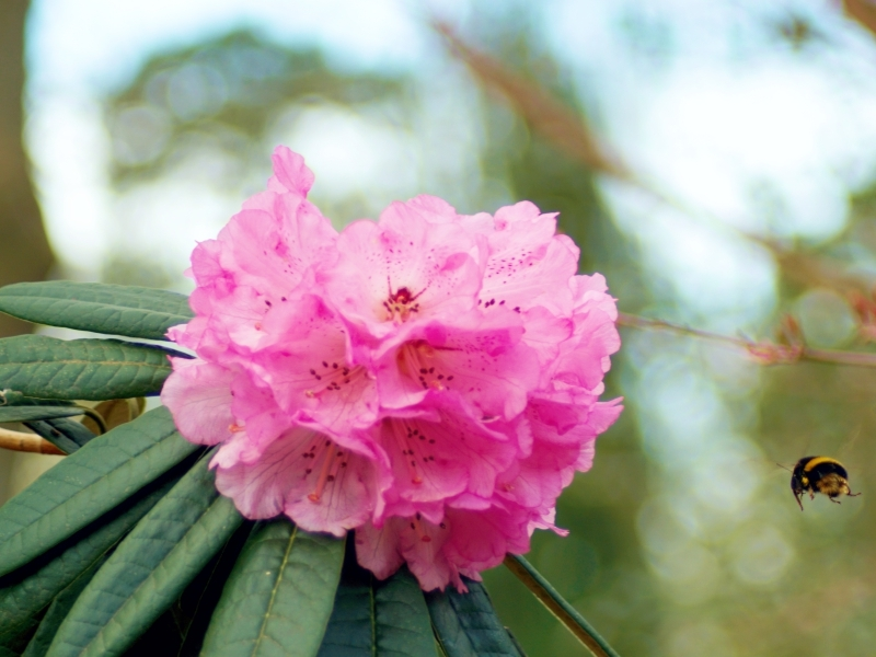 The plant of the month for April is the rhododendron