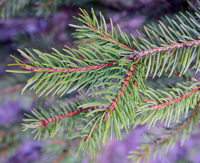 The plant of the month for October is the conifer
