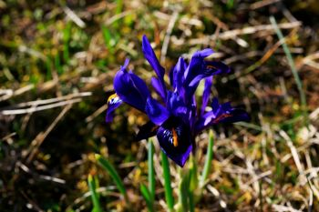 Dwarf winter-flowering irises