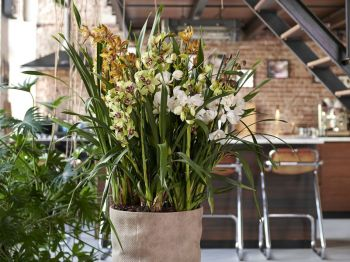 Houseplant of the month: Cymbidium