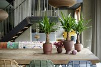 Houseplant of the month December: Yucca