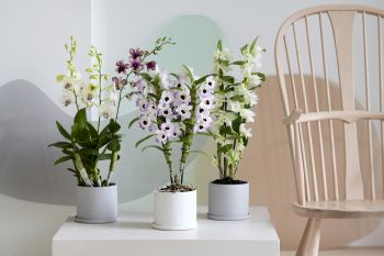 Houseplant of the month: Dendrobium