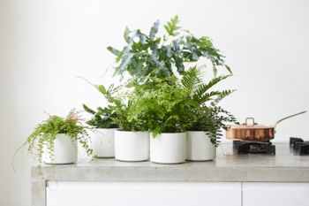 Houseplant of the month: Ferns