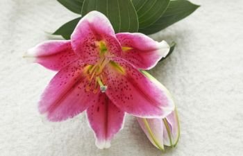 Houseplant of the month: the Lily
