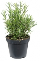 The smell of rosemary boost memory