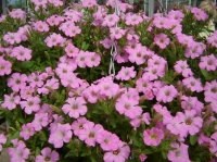 Plant of the week - Petunia