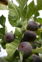 Prune fig trees