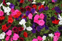 May's plant of the month is the petunia